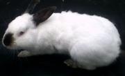 Чистопородные кролики. Бельгийский персиковый великан,  калифорнийцы.